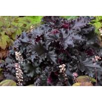 Żurawka ogrodowa 'BLACK TAFFETA'