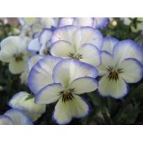 Bratek rogaty drobnokwiatowy Biały z niebieską obwódką