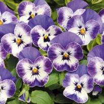 Bratek rogaty drobnokwiatowy Niebieski z białym środkiem