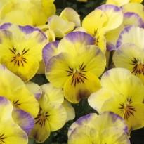 Bratek rogaty drobnokwiatowy Jasnożółty z fioletową obwódką
