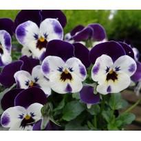 Bratek rogaty drobnokwiatowy Fioletowo-biały