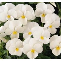 Bratek rogaty drobnokwiatowy Biały