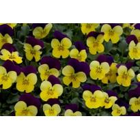 Bratek rogaty drobnokwiatowy Żółto-fioletowy