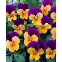 Bratek rogaty drobnokwiatowy Pomarańczowo-fioletowy