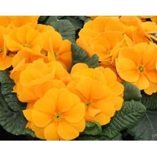 Prymulka bezłodygowa Pomarańczowa
