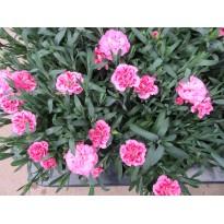 Goździk pachnący Różowo-fioletowy