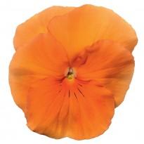 Bratek Pomarańczowy