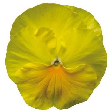 Bratek Jasno-żółty