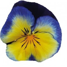 Bratek Żółto-niebieski Cats
