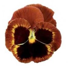Bratek Pomarańczowo-Czerwony